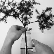 Händer rättar till en enbärskvist i en vas